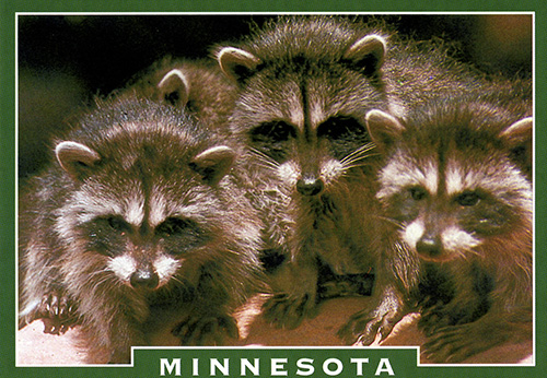 140 MN Raccoon Postcard